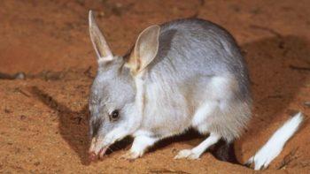 У Аўстраліі на волю выпусцілі сумчатых барсукоў. Упершыню за 100 гадоў