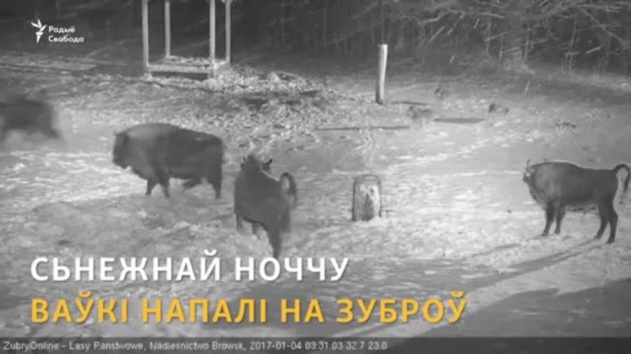 У Белавескай пушчы ваўкі напалі на зуброў.