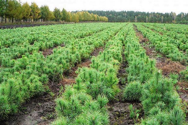 Лясгасы пачалі пасадку лесу: створана ўжо больш за 6 тысяч гектараў